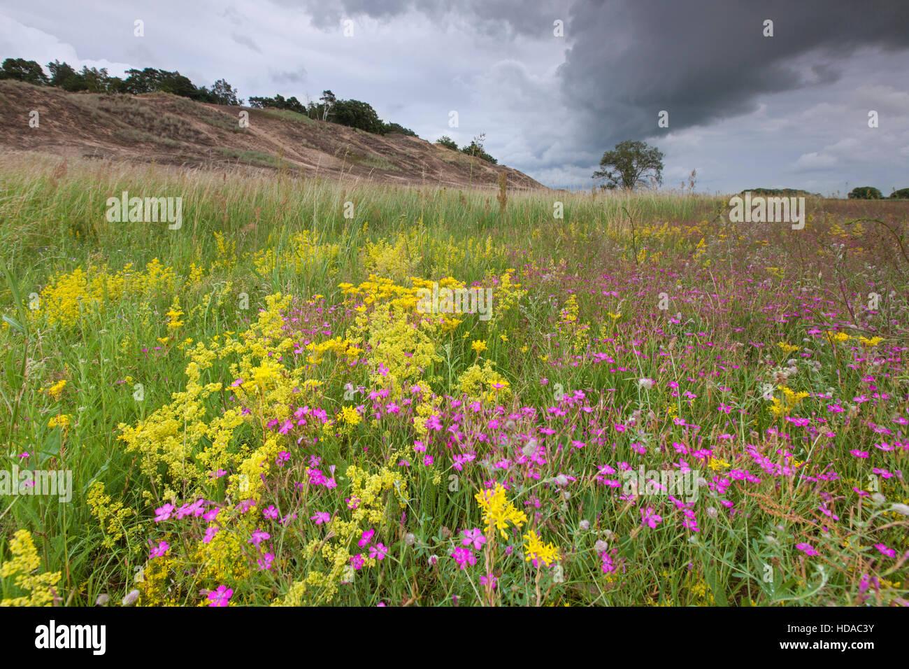 Bunte Wildblumen wie Rosa Kartäuser in den Binnendünen von Klein Schmölen, Mecklenburg Elbe Valley Stockbild