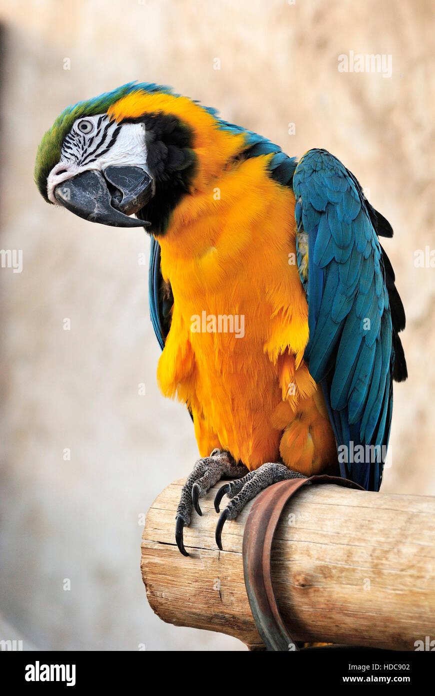 Blaue und gelbe Aras (Ara Ararauna) bei Vogel Souk in Doha, Katar. Stockbild