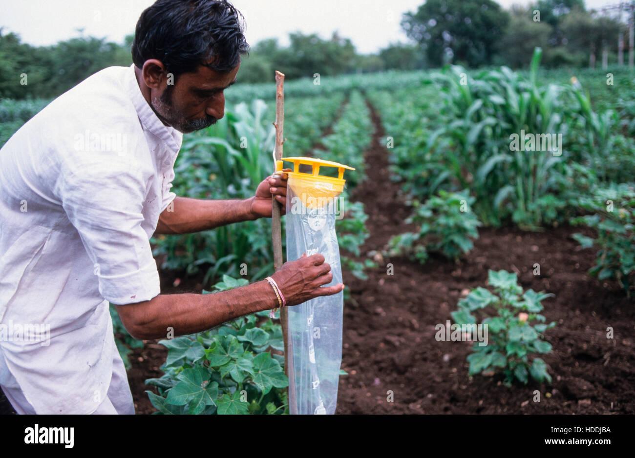 Indien, Madhya Pradesh, Kasrawad, Baumwolle aus biologischem Landbau, Landwirt mit feromon Falle für die biologische Stockbild
