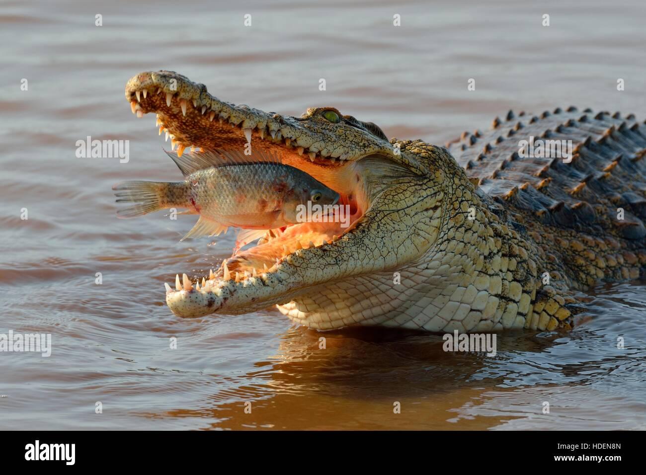 Nil-Krokodil (Crocodylus Niloticus) mit Fisch noch lebendig in seinen Mund, Sunset Dam, Krüger Nationalpark, Stockbild