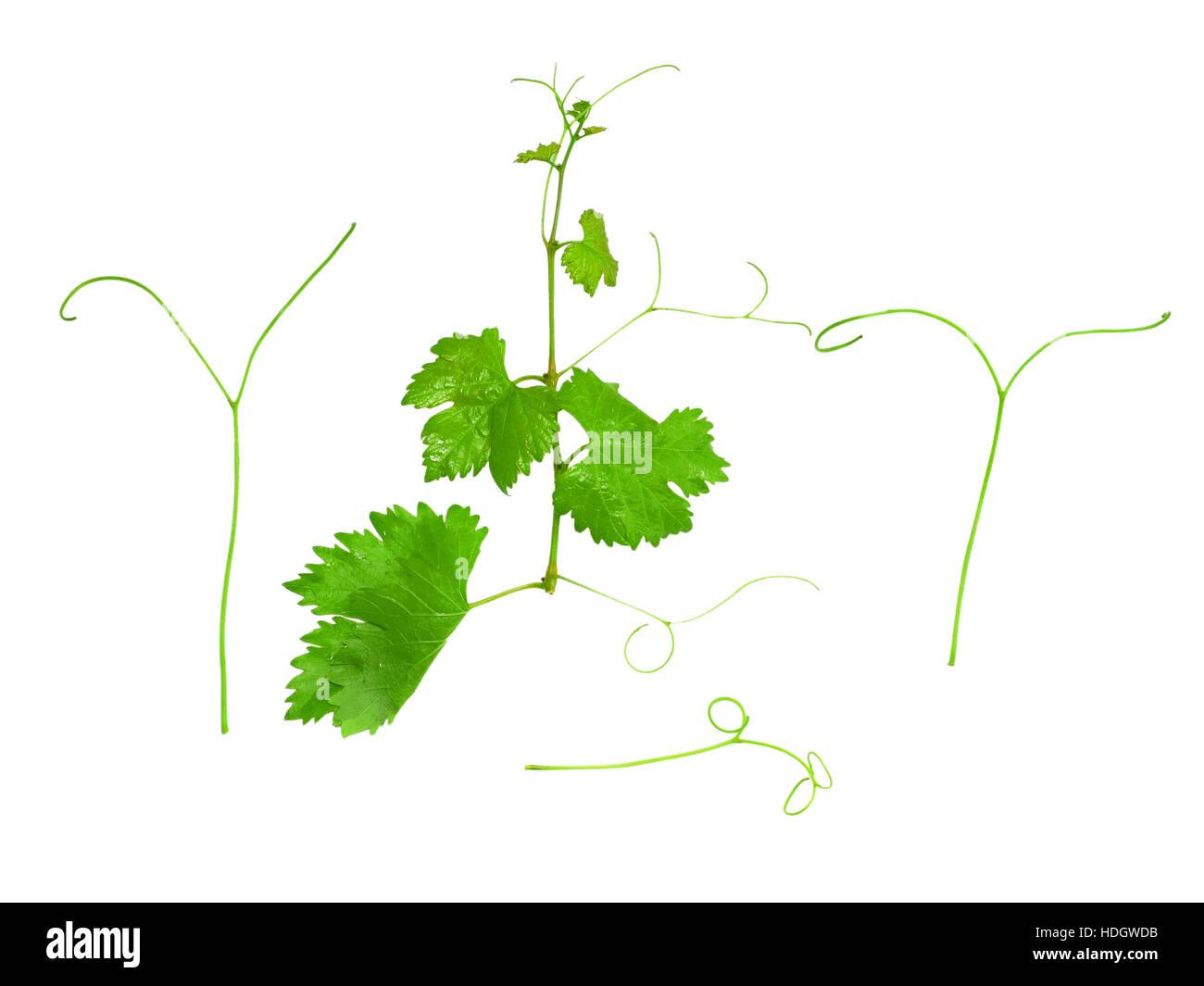 Trauben Grün Blatt mit Ranke Ranke. Isoalted in weiß Stockbild