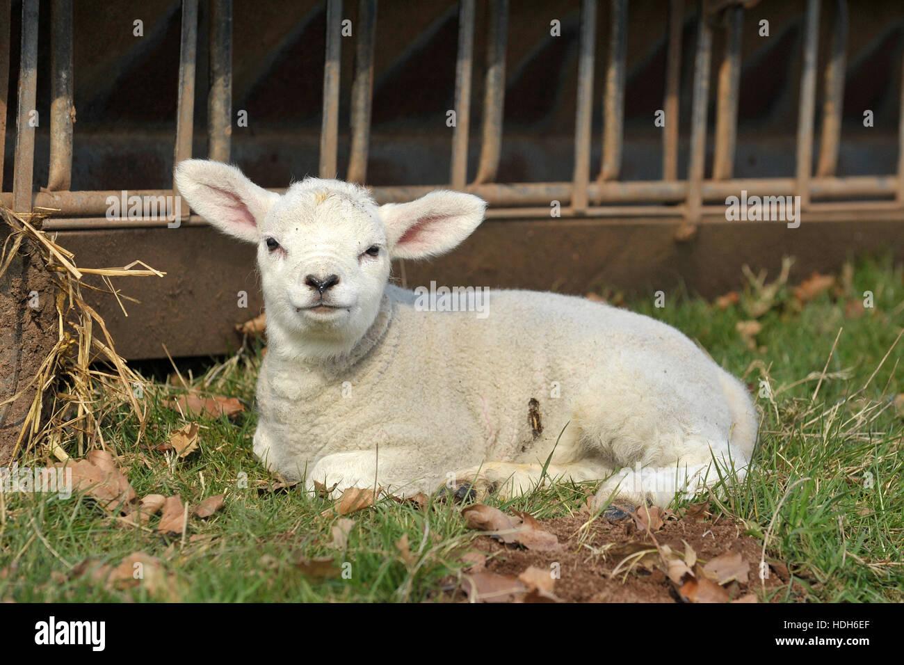 reines Lammfleisch von Texel. 5 Tage alt Stockbild