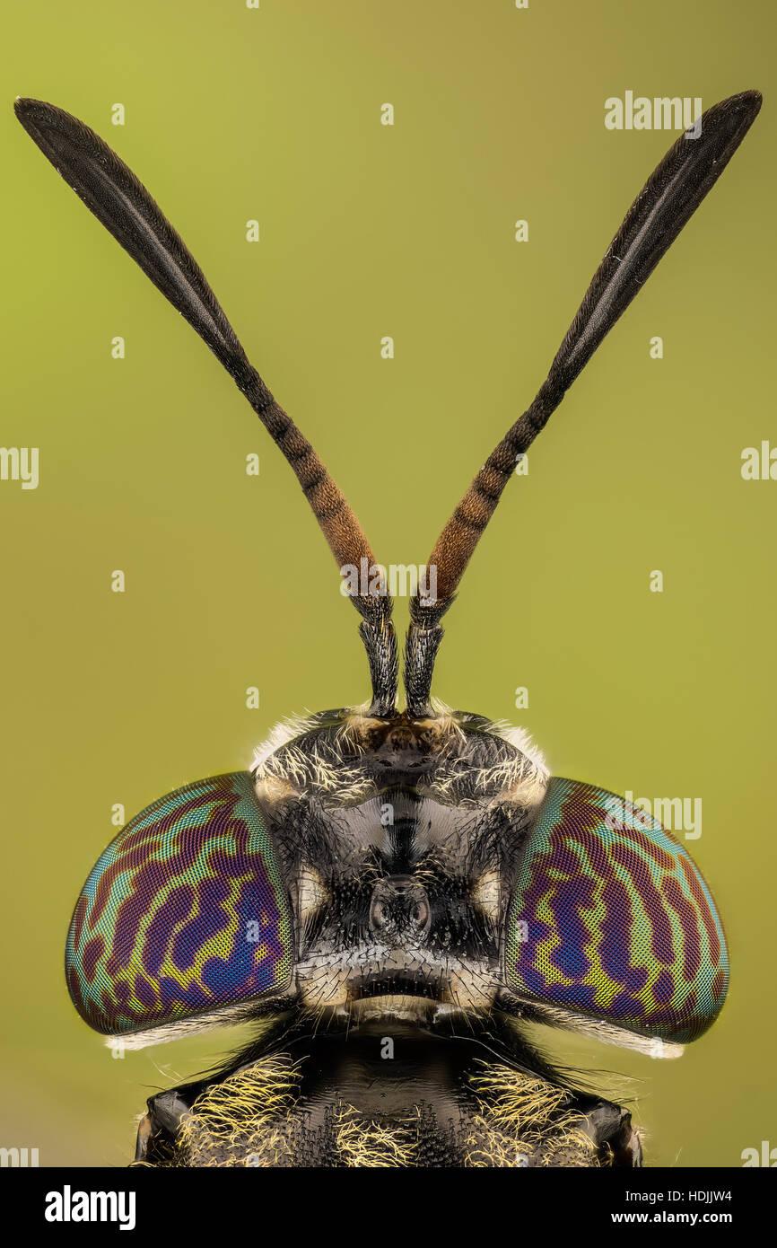 Schwarzen Soldaten fliegen sind verbreitete Fliege der Familie Stratiomyidae. Weder die Larven als auch die Erwachsenen Stockbild