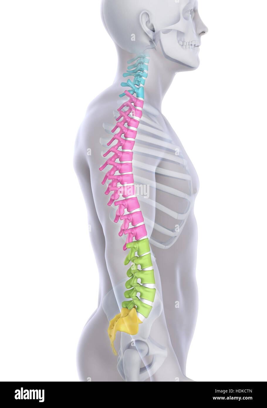 Anatomie der menschlichen Wirbelsäule Stockfoto, Bild: 128890293 - Alamy