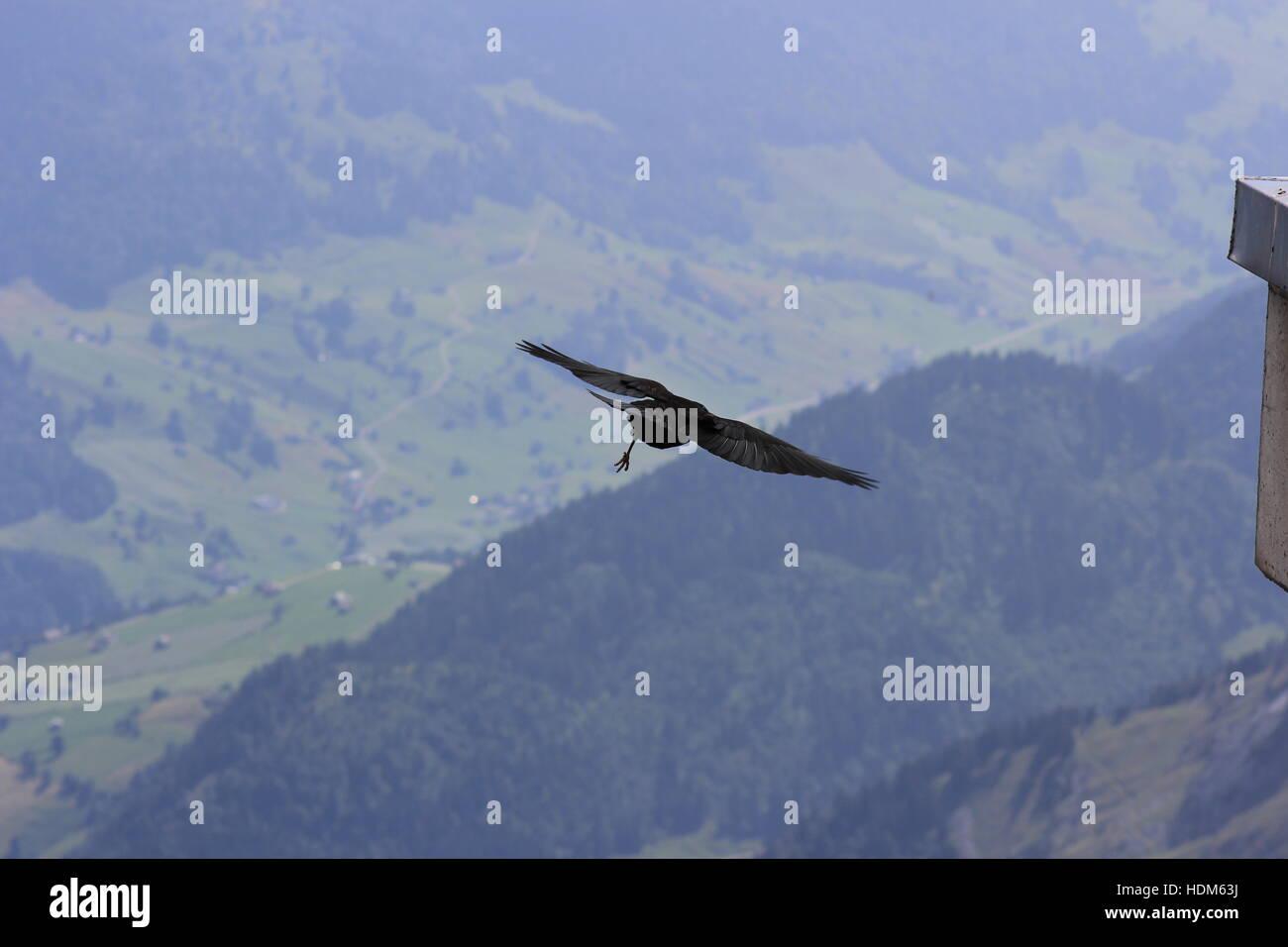 Ein Vogel fliegt hoch in den Schweizer Alpen am Säntis Stockbild