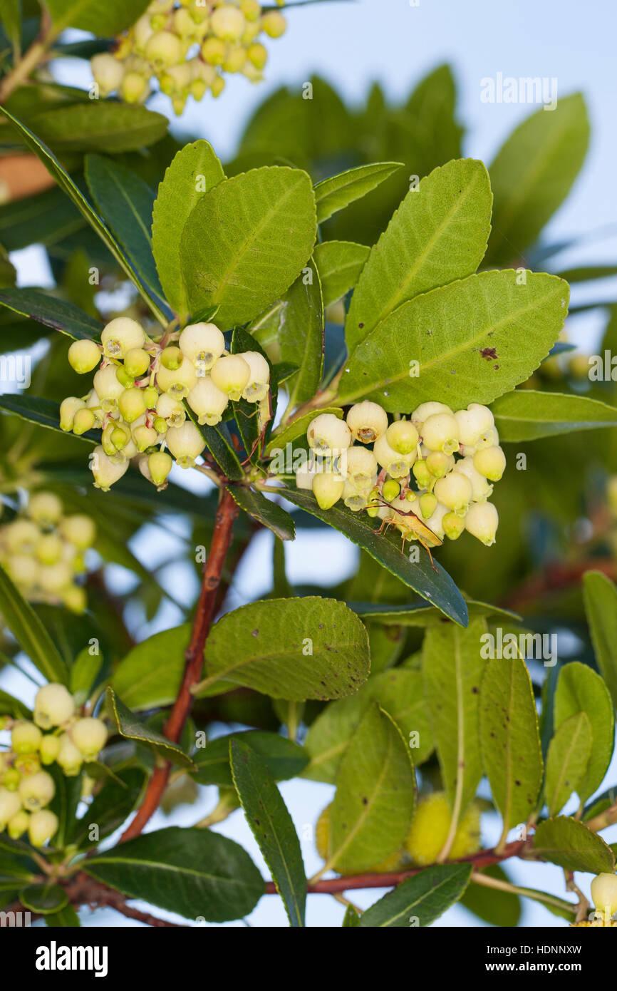 Westlicher Erdbeerbaum, Erdbeer-Baum, Arbutus Madrid, Erdbeerbaum, Arbousier commun Stockbild