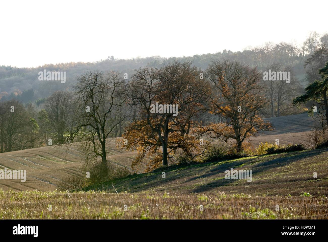 Herbstsonne auf Stoppelfeldern und Hintergrundbeleuchtung Eichen mit einigen Herbstfärbung verbleibenden, Berkshire, Stockbild