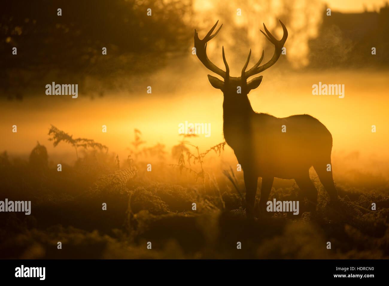 Eine beeindruckende Hirsch Silhouette durch einen herrlichen goldenen Sonnenaufgang in Bushy Park Stockbild