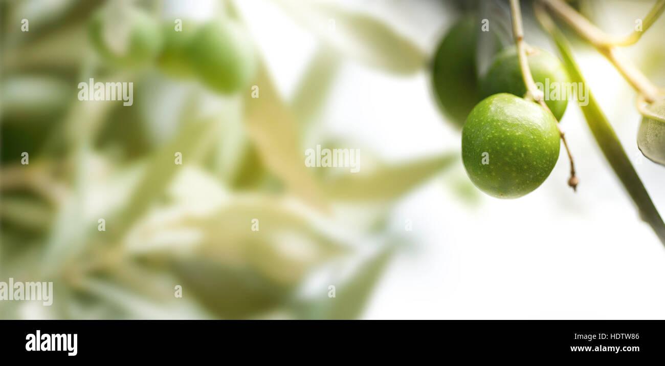Horizontales Bild für einen Olivenbaum-Zweig mit unscharfen Blätter auf der linken Seite. Stockbild