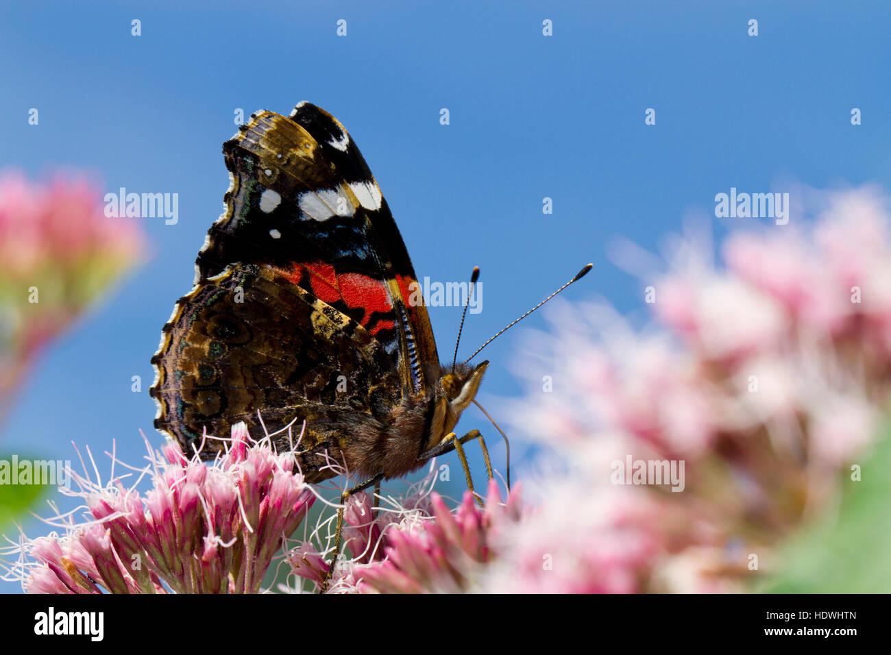 Red Admiral (Vanessa Atalanta) Schmetterling Erwachsenen Fütterung auf Hanf-Agrimony (Eupatorium Cannabinum) Blumen. Stockfoto