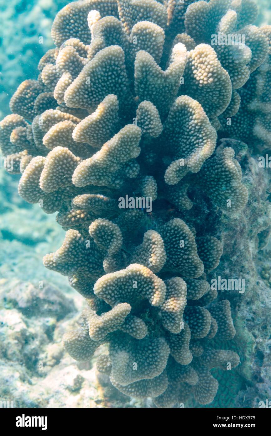 Riff-Korallen auf den Malediven, Indischer Ozean Stockbild