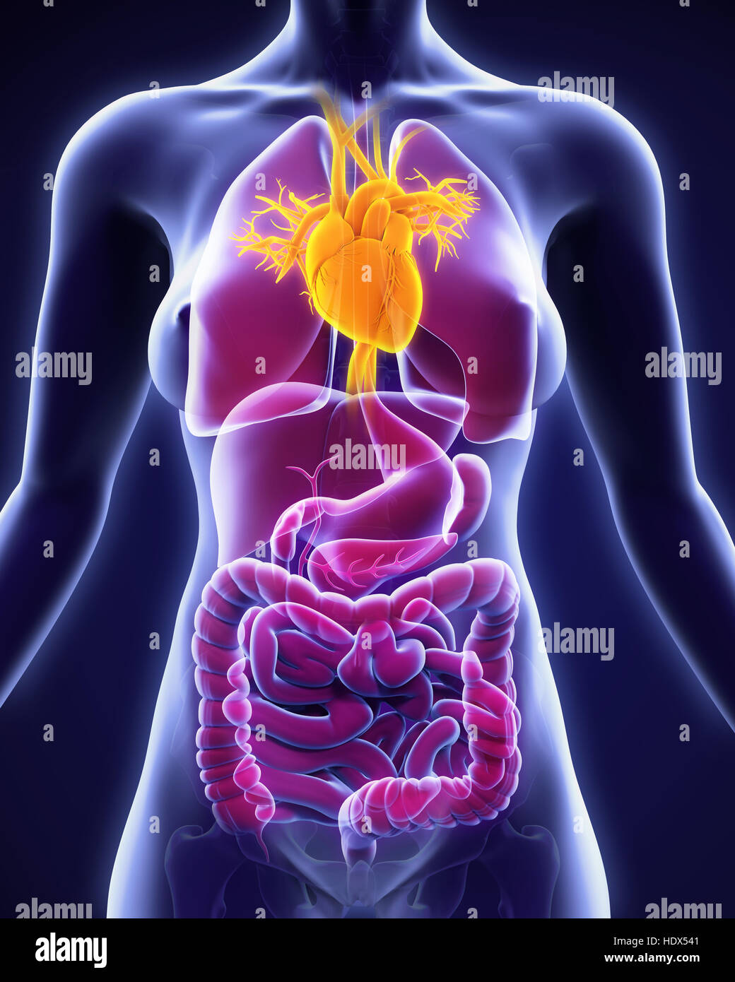 Female Cardiovascular System Stockfotos & Female Cardiovascular ...