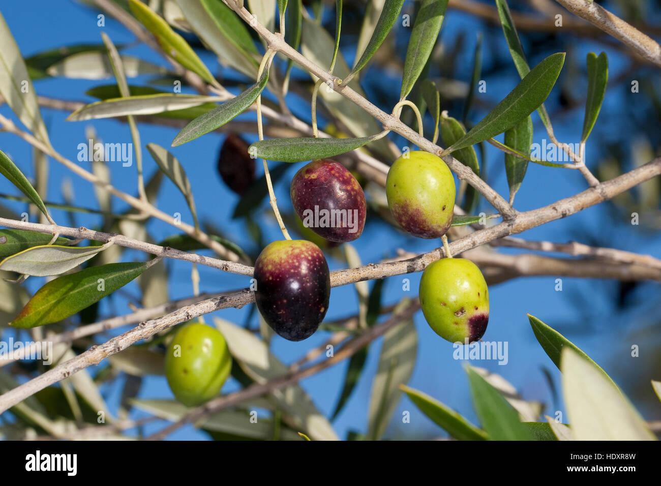 Prächtig Olivenöl, Oliven, Früchte bin Baum, Ölbaum, Olea Europaea #DL_56