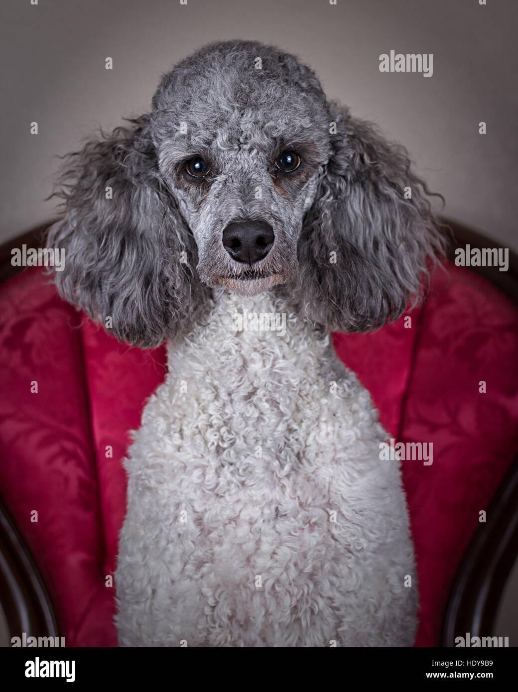 Pudelhund sitzt im Stuhl starrte auf die Kamera Stockbild
