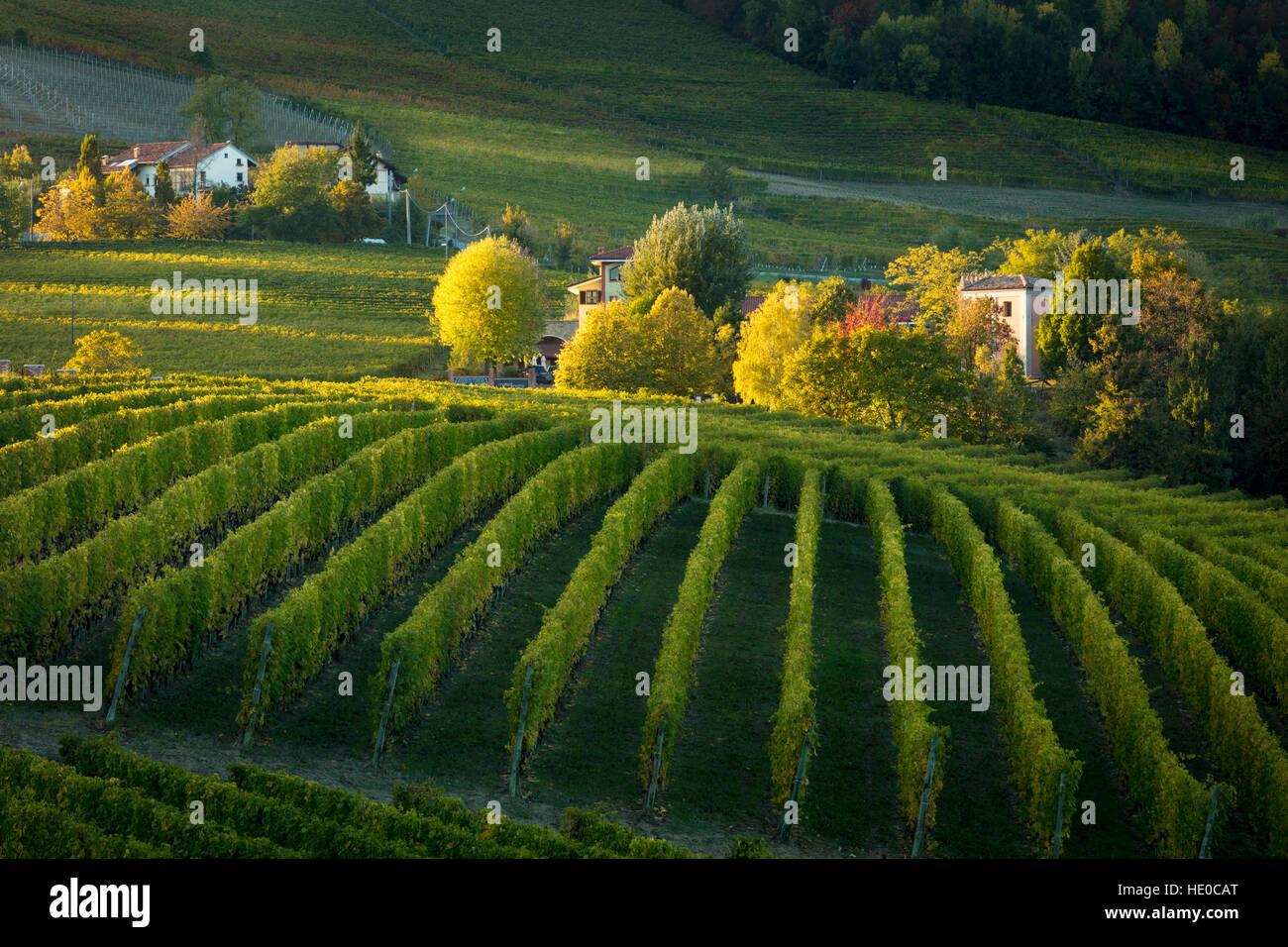 Herbstabend Sonnenlicht auf den Weinbergen in der Nähe von Barolo, Piemont, Italien Stockbild