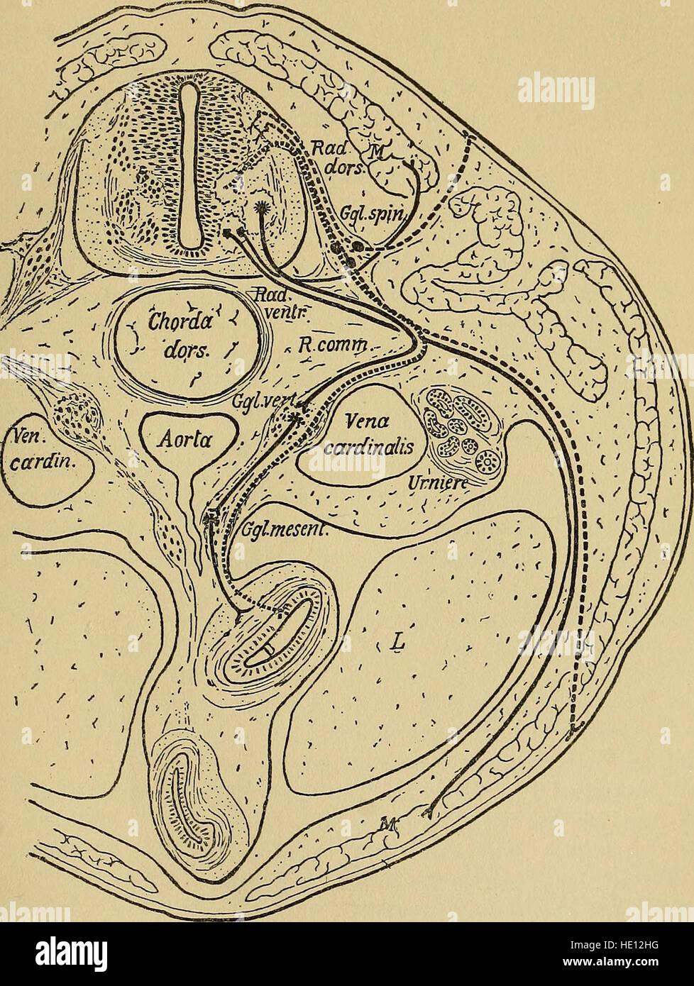 Wunderbar Hodenkanälchen Männliche Fortpflanzungssystem Anatomie ...