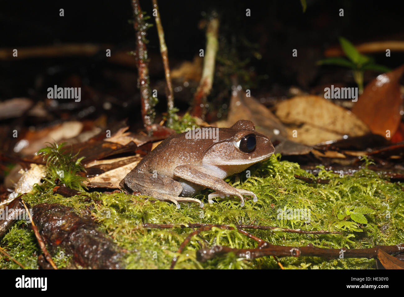 Montane Wurf Frosch, Leptobrachium Montanum, im Mount Kinabalu National Park Stockbild