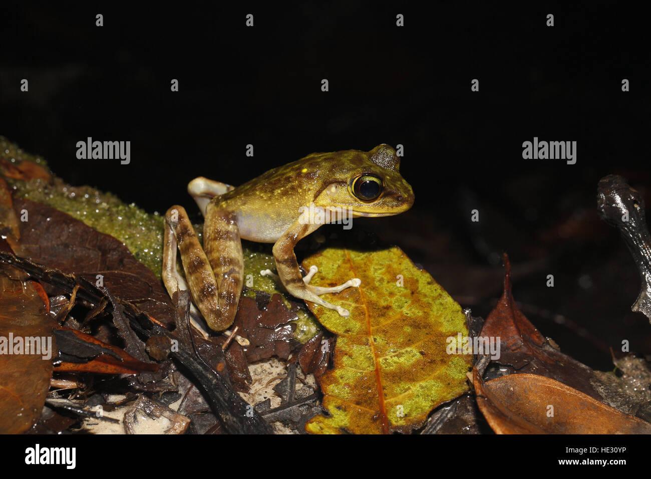 Montane (Kinabalu) Torrent Frosch, Meristogenys Kinabaluensis, fotografiert in der Nacht im Mount Kinabalu National Stockbild