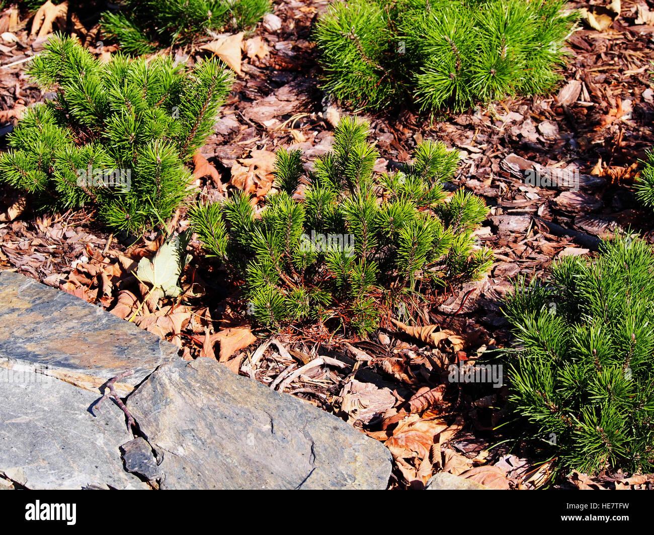 Pinus mugo pumilio Zwergkiefer Latsche Baum ca.10 cm aus extremer Hochlage