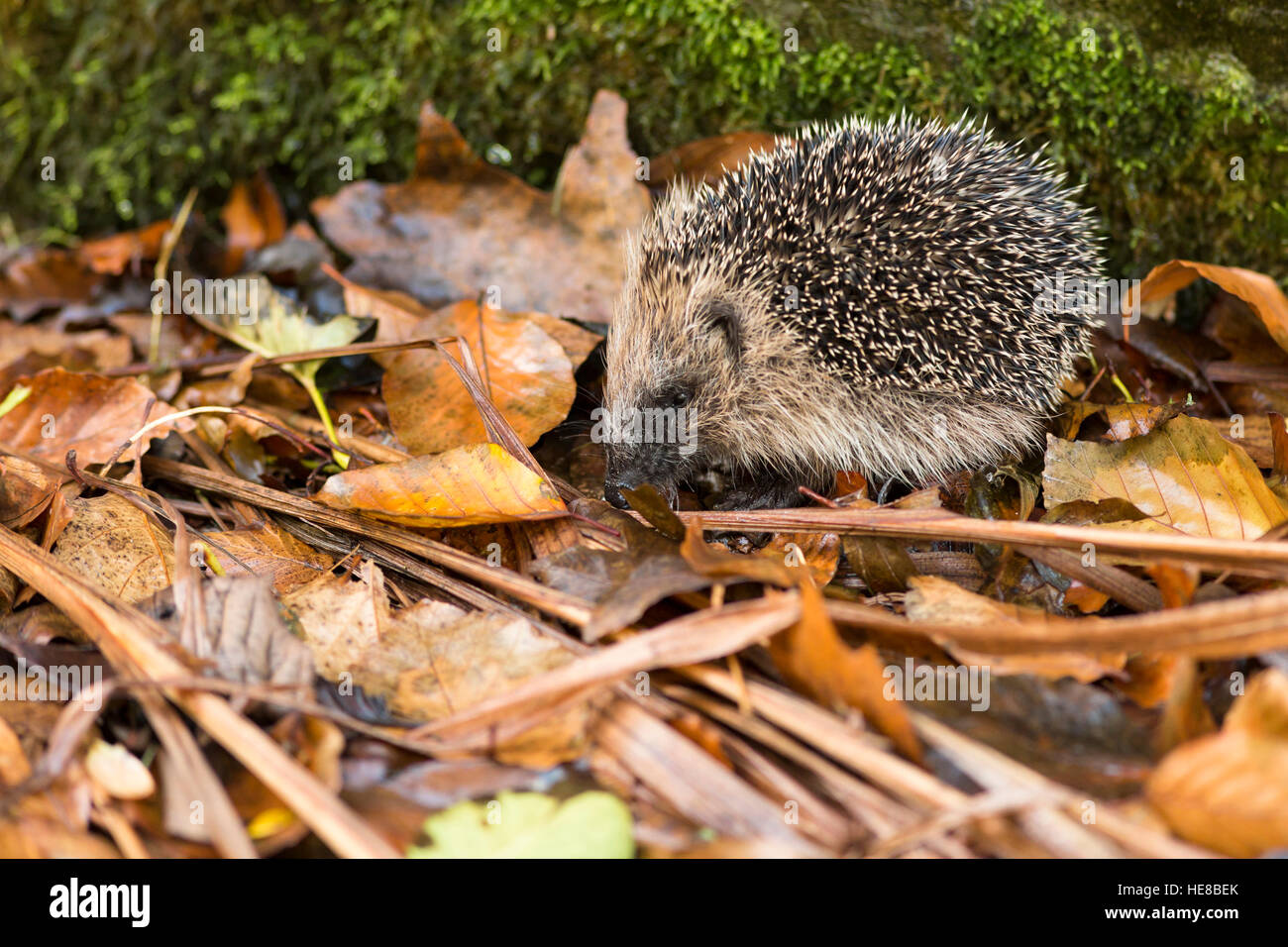european hedgehog in autumn leaves stockfotos european hedgehog in autumn leaves bilder alamy. Black Bedroom Furniture Sets. Home Design Ideas