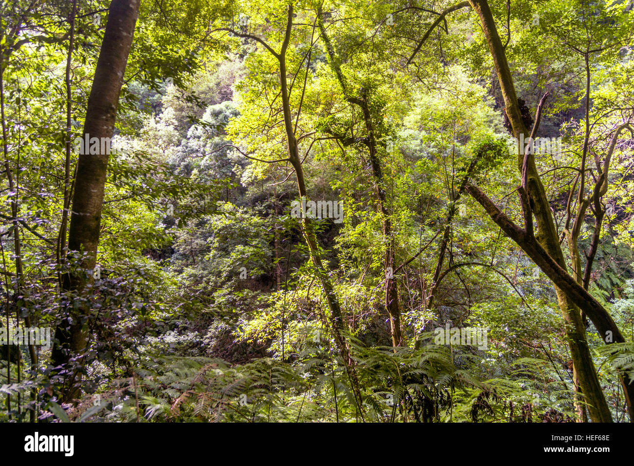 Laurel Wald, Los Tilos-Biosphären-Reservat, La Palma, Kanarische Inseln, Spanien Stockbild