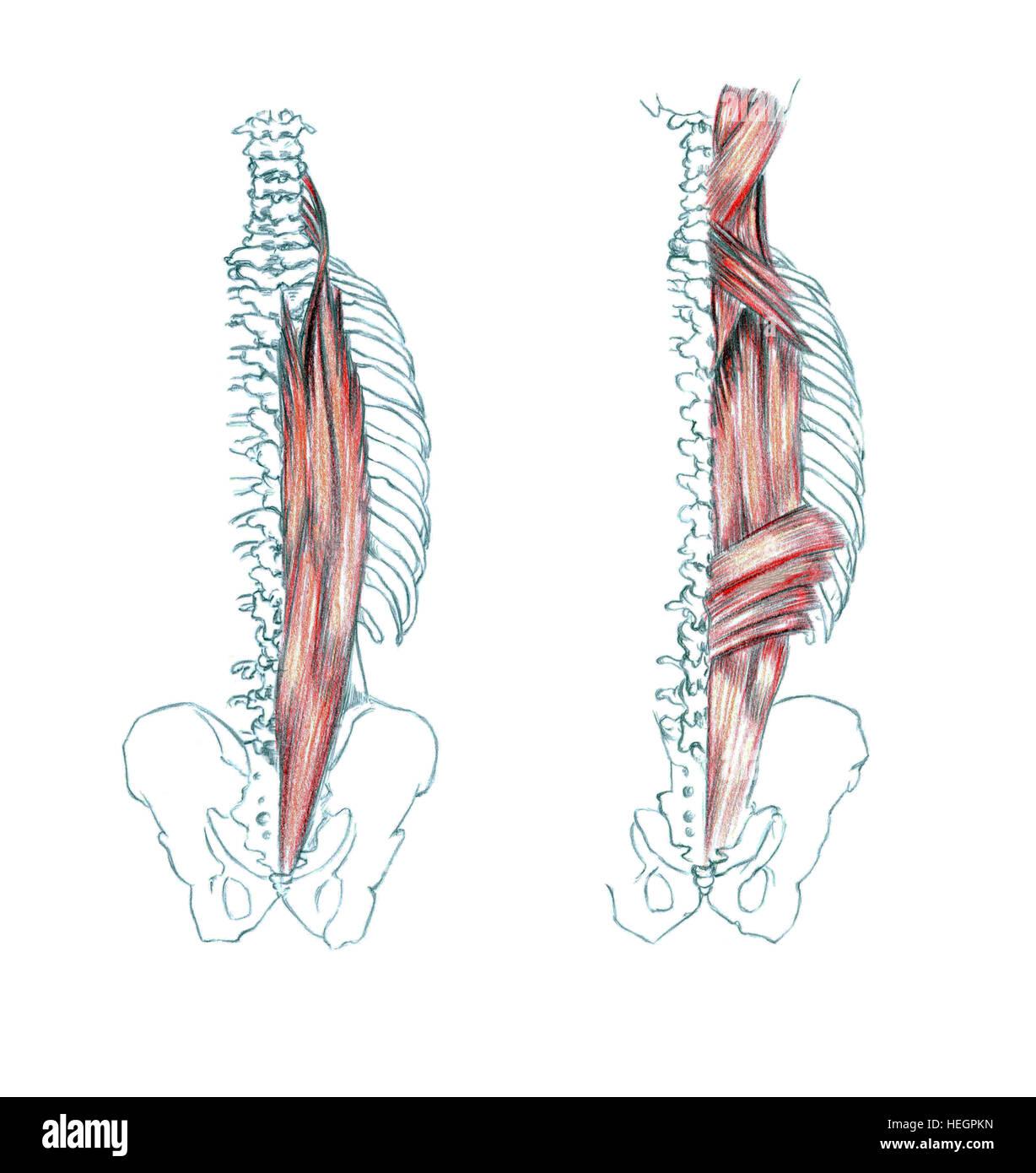 Großartig Obere Rücken Muskelanatomie Bilder - Anatomie Ideen ...