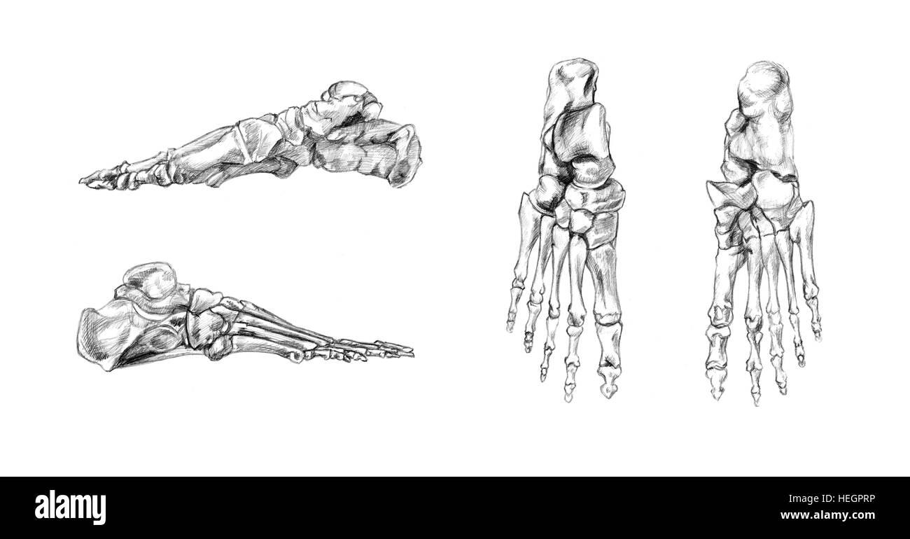 Knochen des Fußes, handgezeichnete medizinische Illustration ...
