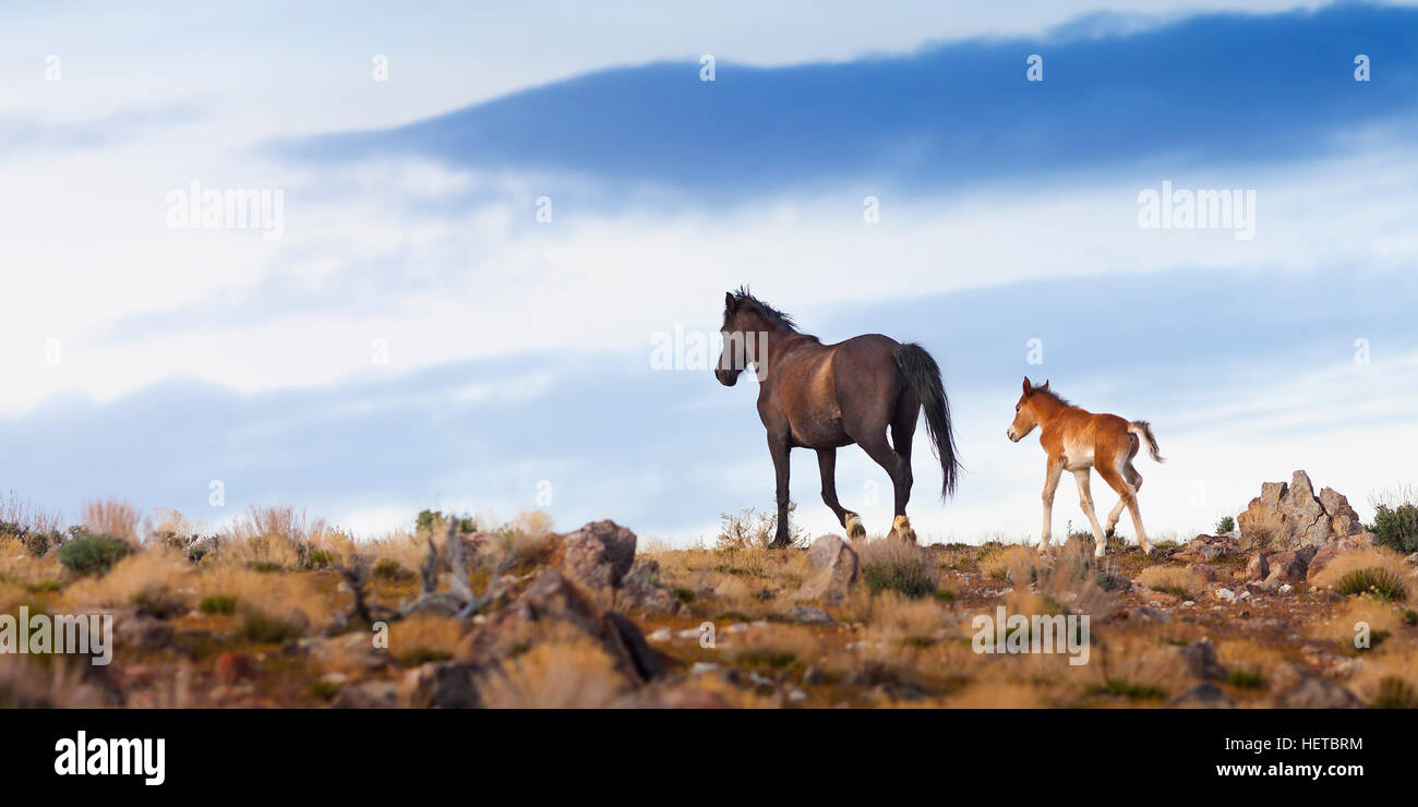 Wildpferd Mustang in der Wüste von Nevada Stockbild