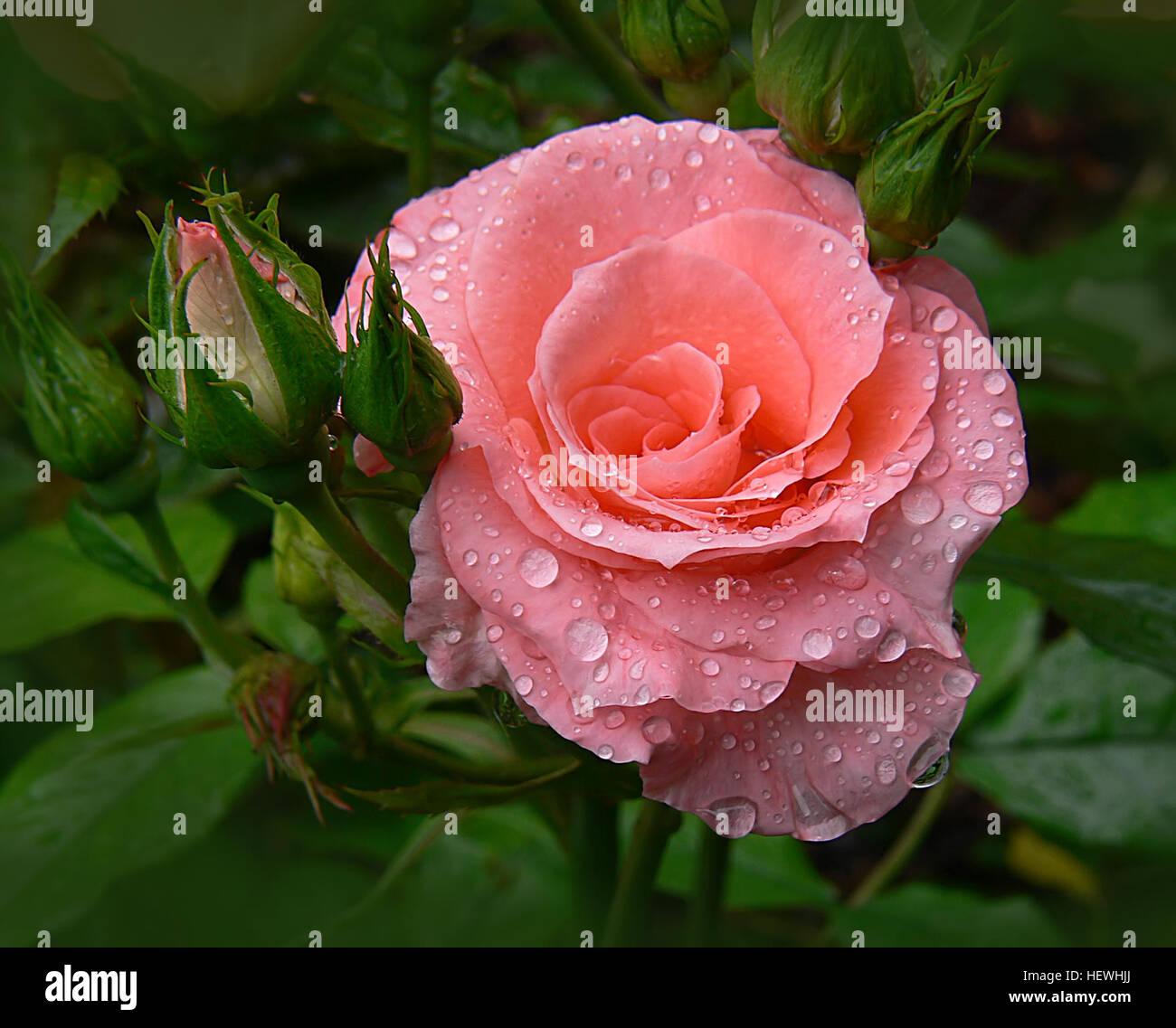 hybride tee eines der beliebtesten rosensorten, sind groß