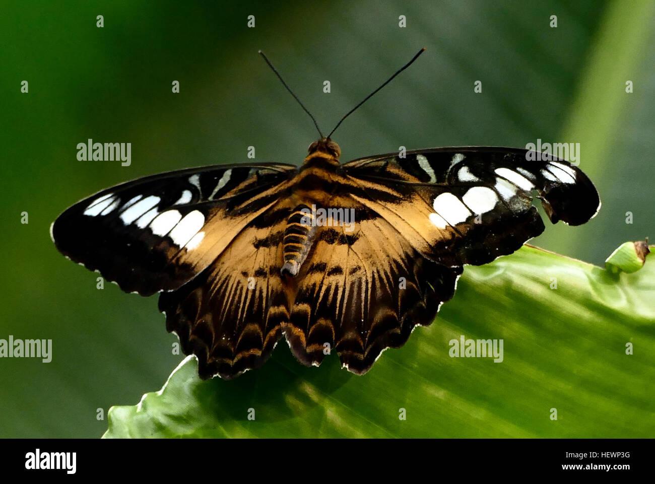 Erstaunliche Schmetterlingsgeschlechtsposition