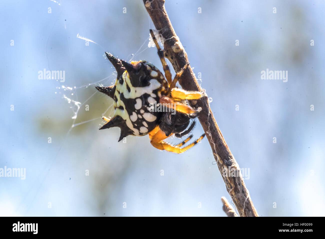 Unterseite des australischen Juwel Spinne (Austracantha Minax) in ...