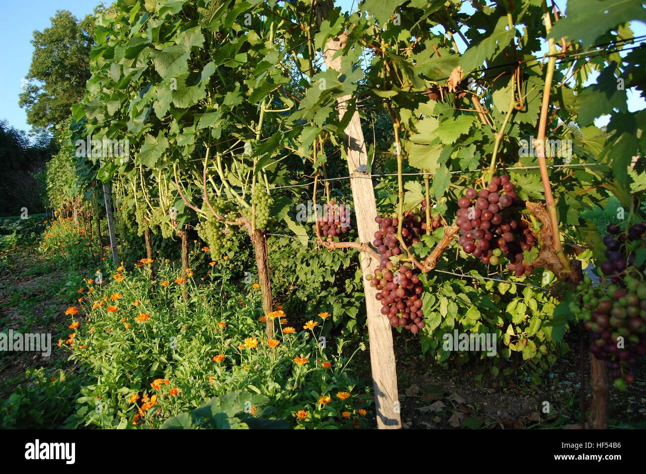 Leckere Reife Weintrauen in Den Weinreben Stockbild