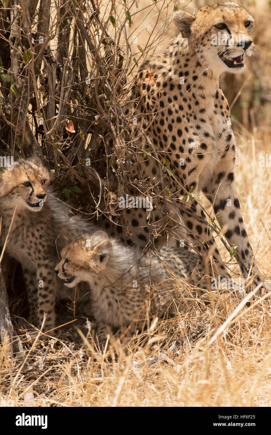 Gepard sitzend mit zwei jungen Stockbild