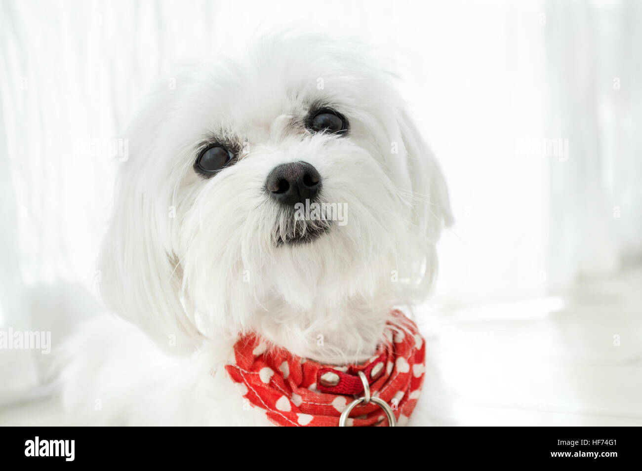 kleiner wei er hund mit rotem halsband stockfoto bild 129849665 alamy. Black Bedroom Furniture Sets. Home Design Ideas