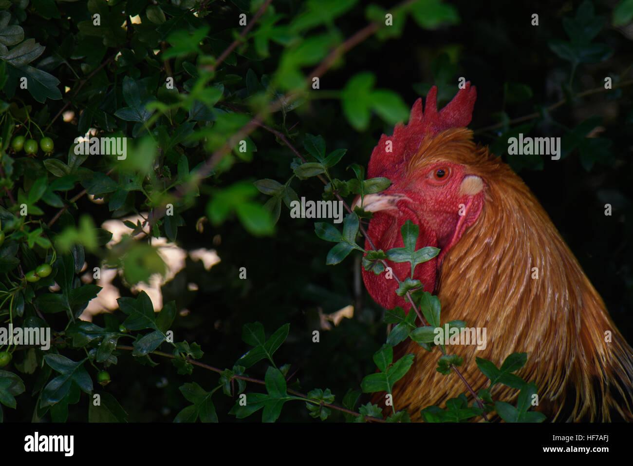 Buff Sussex Hahn erkundet den Garten, Stockbild