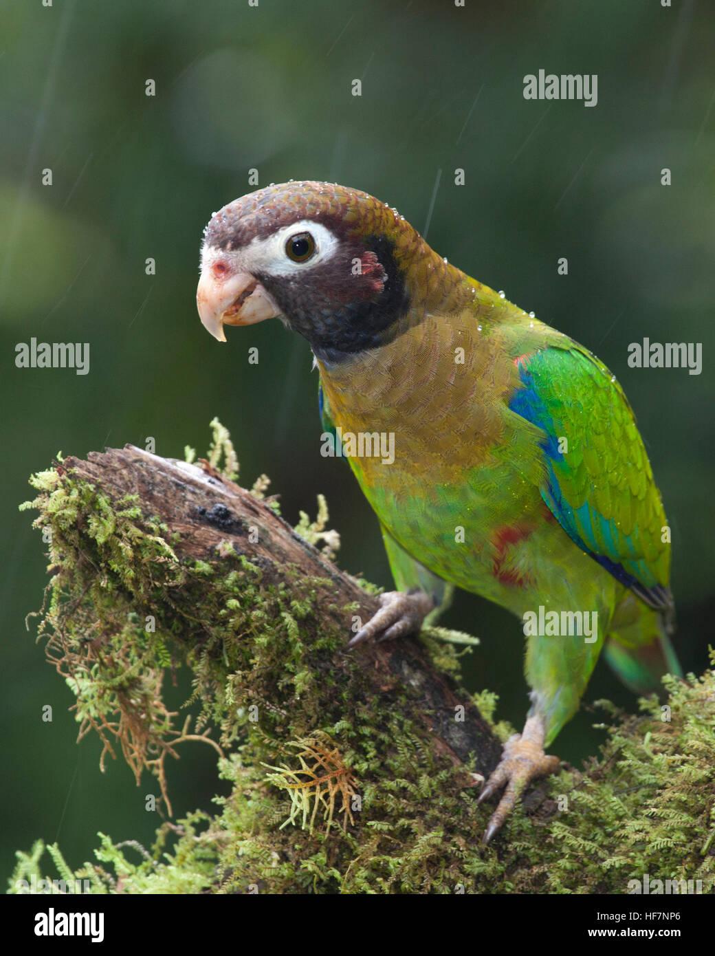 Braun mit Kapuze Papagei (Pyrilia Haematotis) thront auf Regenwald Zweig im Regen Stockbild