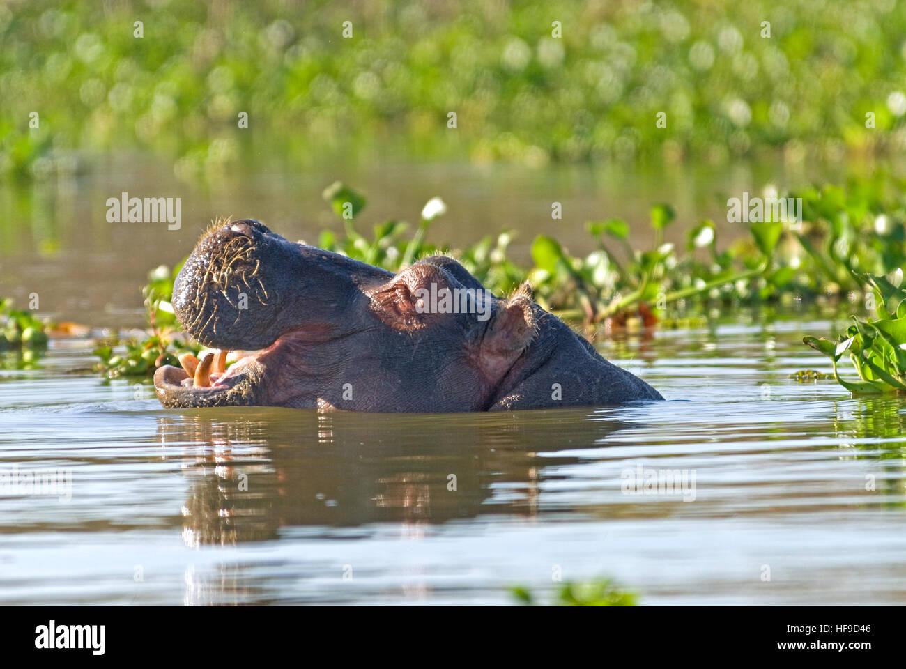 Offenen Mündern hippo Stockbild