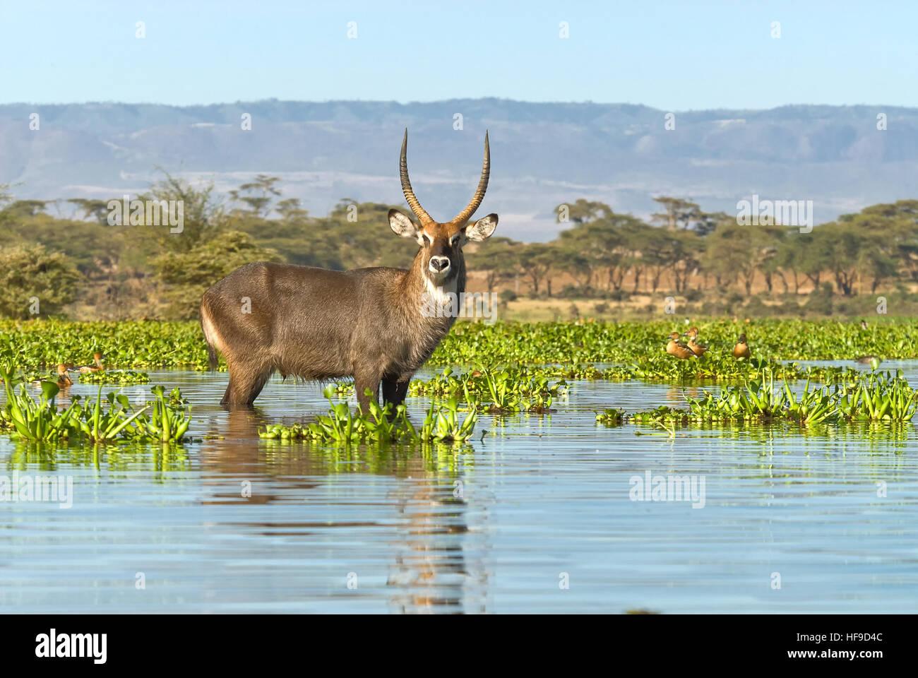Wasser-Bock in Lake Naivasha Stockbild