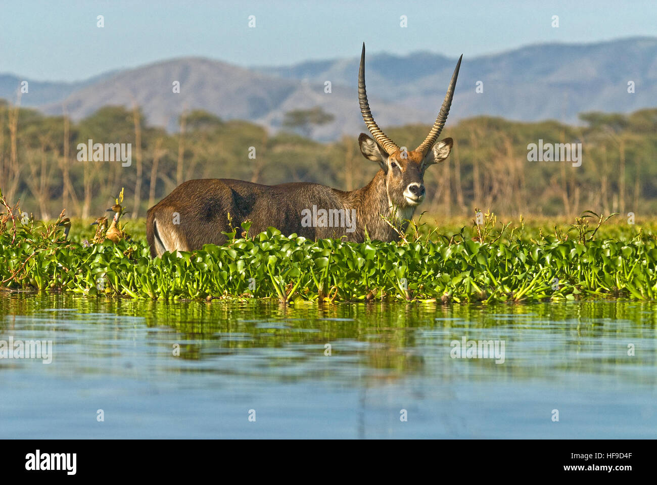 Wasser-Bock im Fluss Stockbild