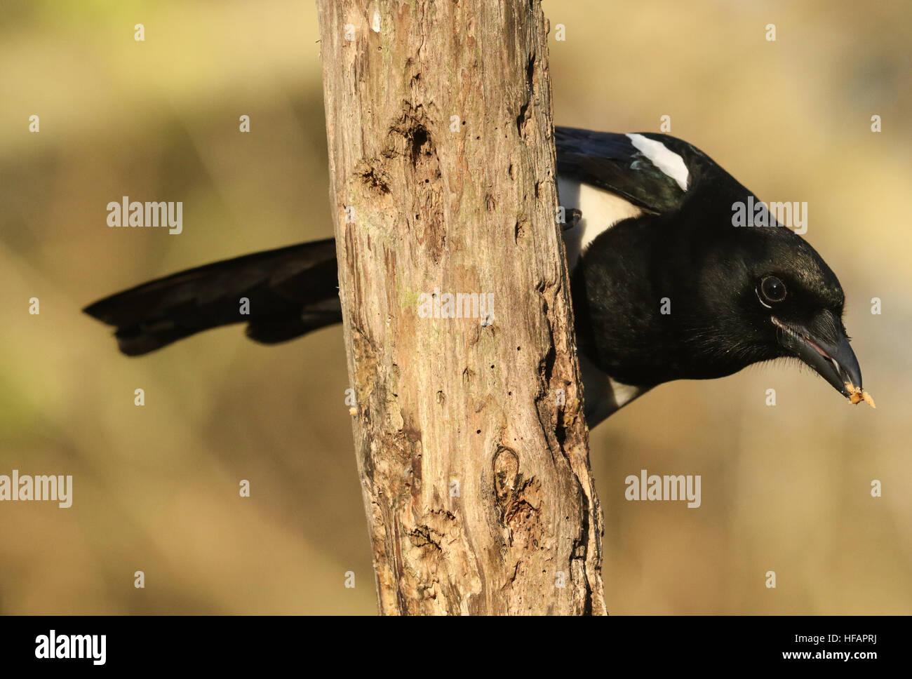 Eine Fütterung Elster (Pica Pica) aus der Familie der Krähen (Corvidae) mit Nahrung im Schnabel thront Stockbild