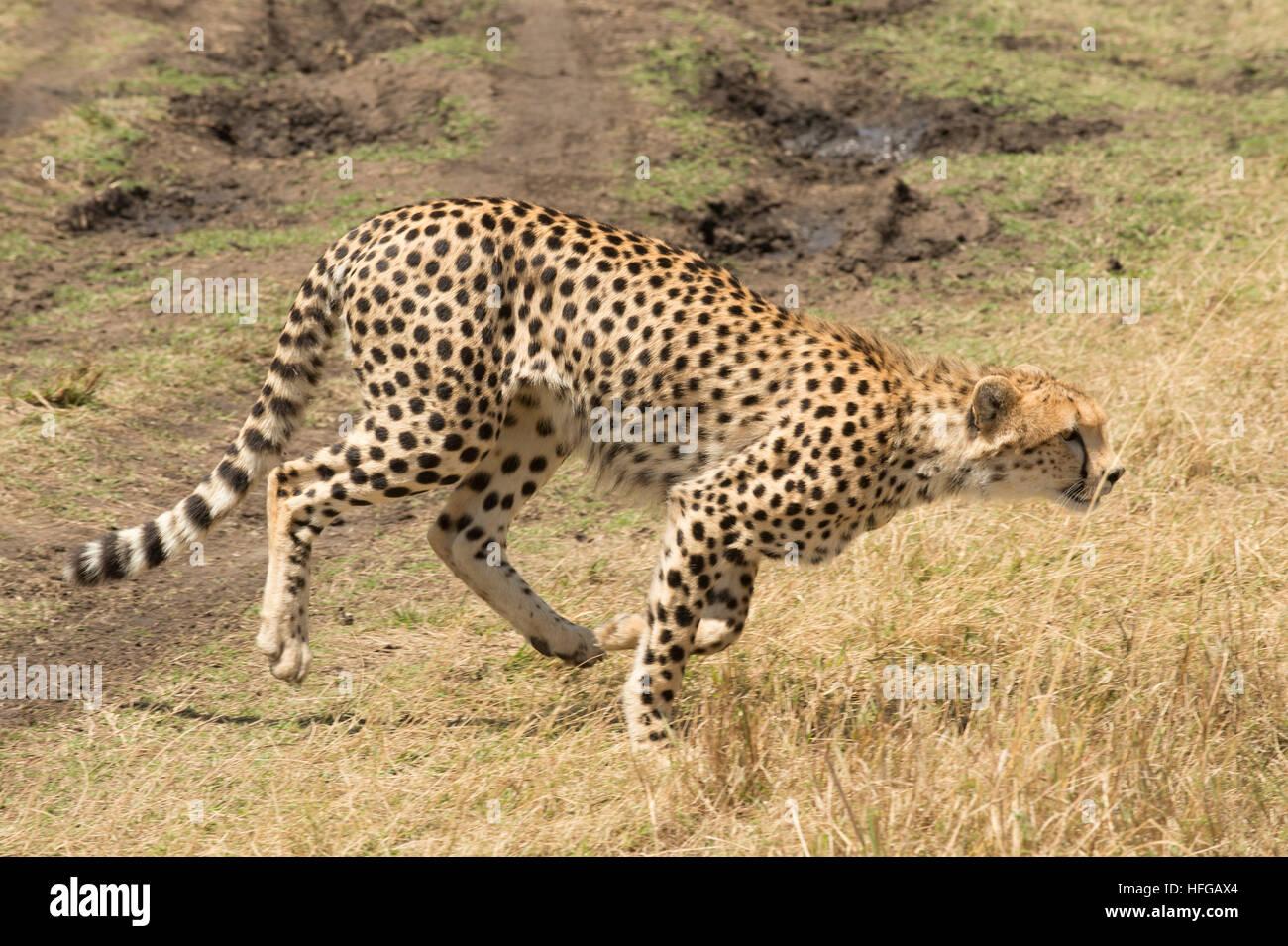 Gepard läuft in Rasen Stockfoto