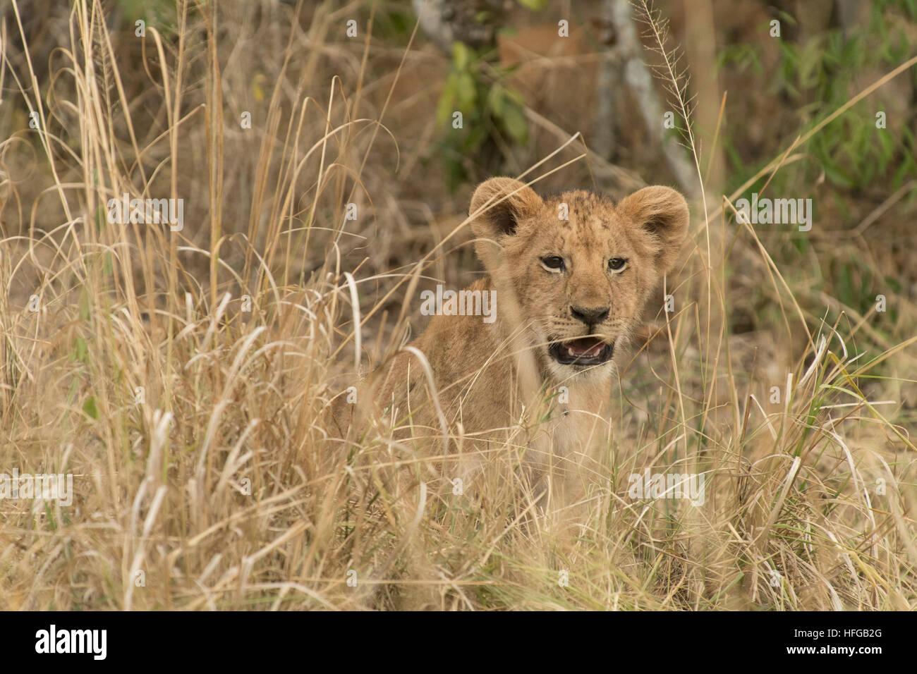 Löwenjunges Gras sitzen und starren Stockbild