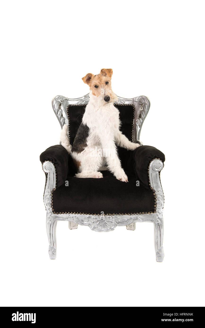 Erwachsenen Wire Fox Terrier sitzen eine schwarze Barock Stuhl ...