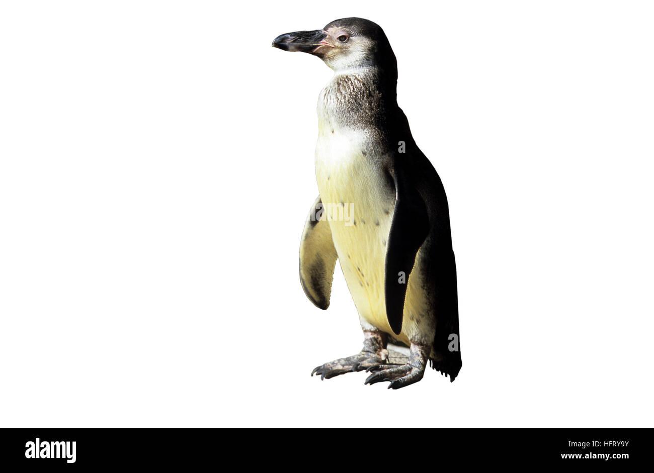 Penguin Cut Out Stockfotos Bilder