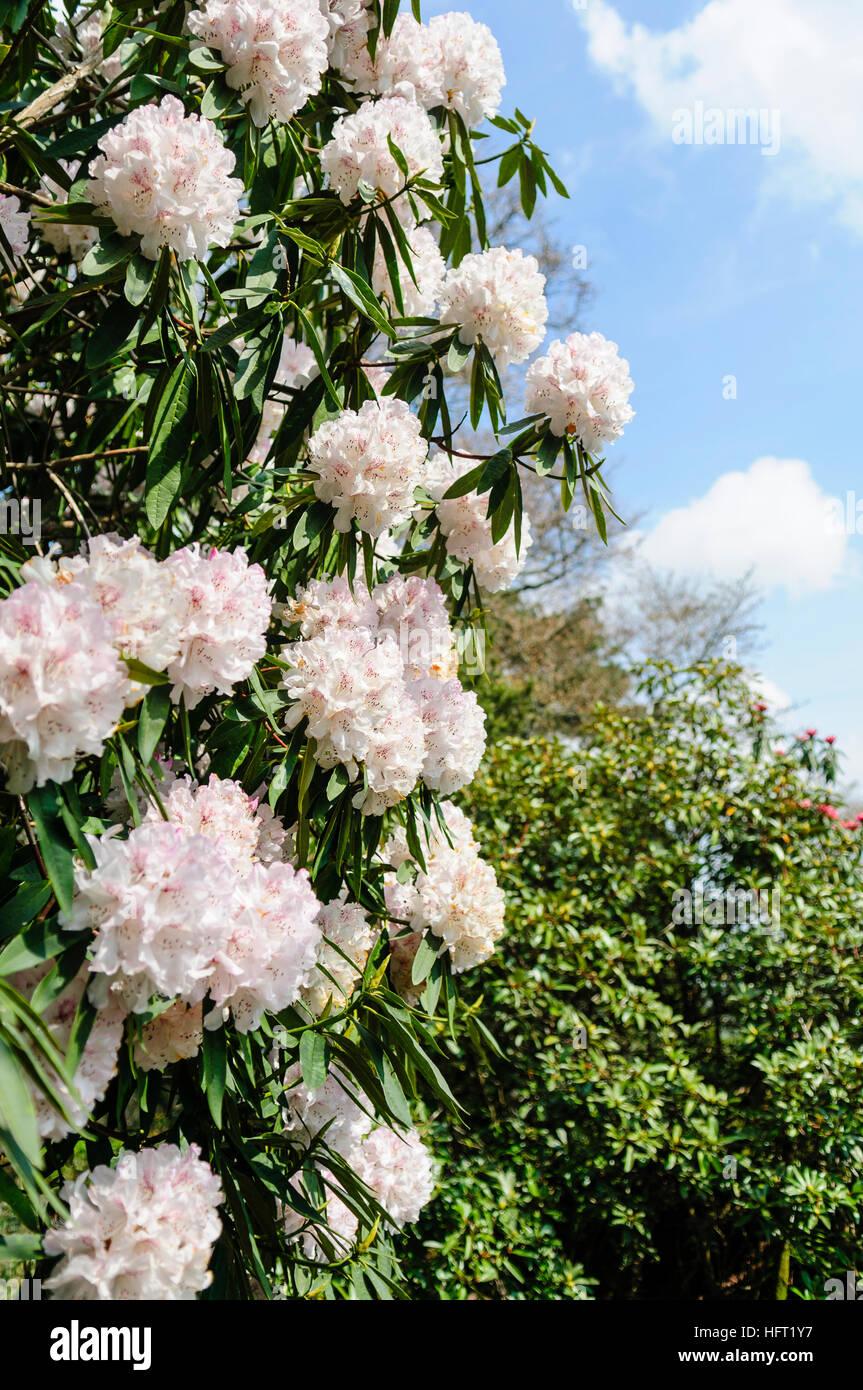 rhododendron strauch mit wei en bl ten stockfoto bild. Black Bedroom Furniture Sets. Home Design Ideas