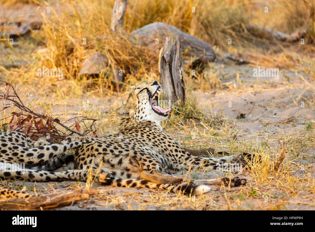 Gepard (Acinonyx Jubatus) ruhen und Gähnen, Sandibe Camp, durch das Moremi Game Reserve, Okavango Delta, Botswana, Stockfoto
