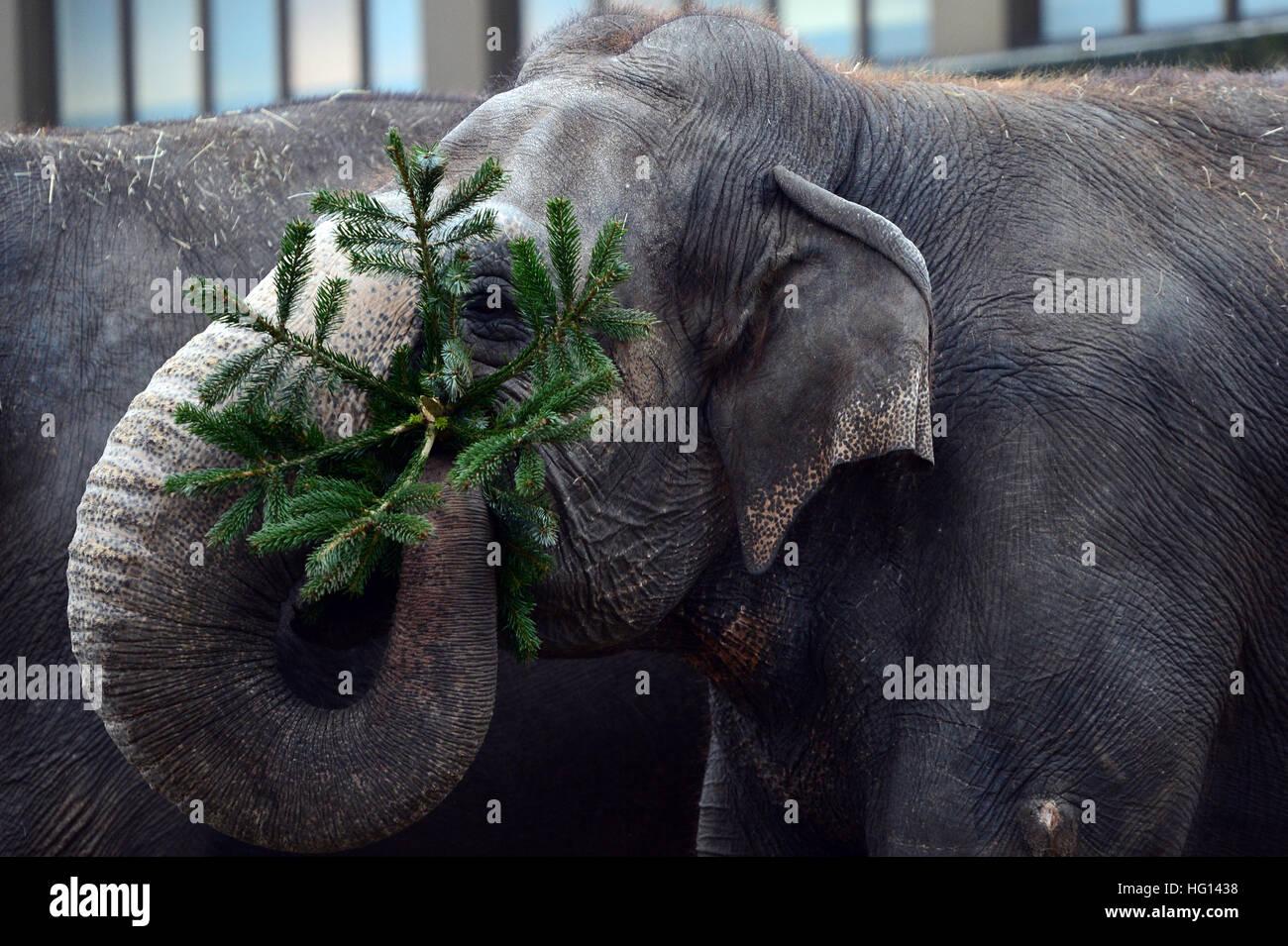 Berlin, Deutschland. 3. Januar 2017. Die Elefanten werden immer verworfen Weihnachtsbäume diente ihnen als Delikatesse Stockfoto