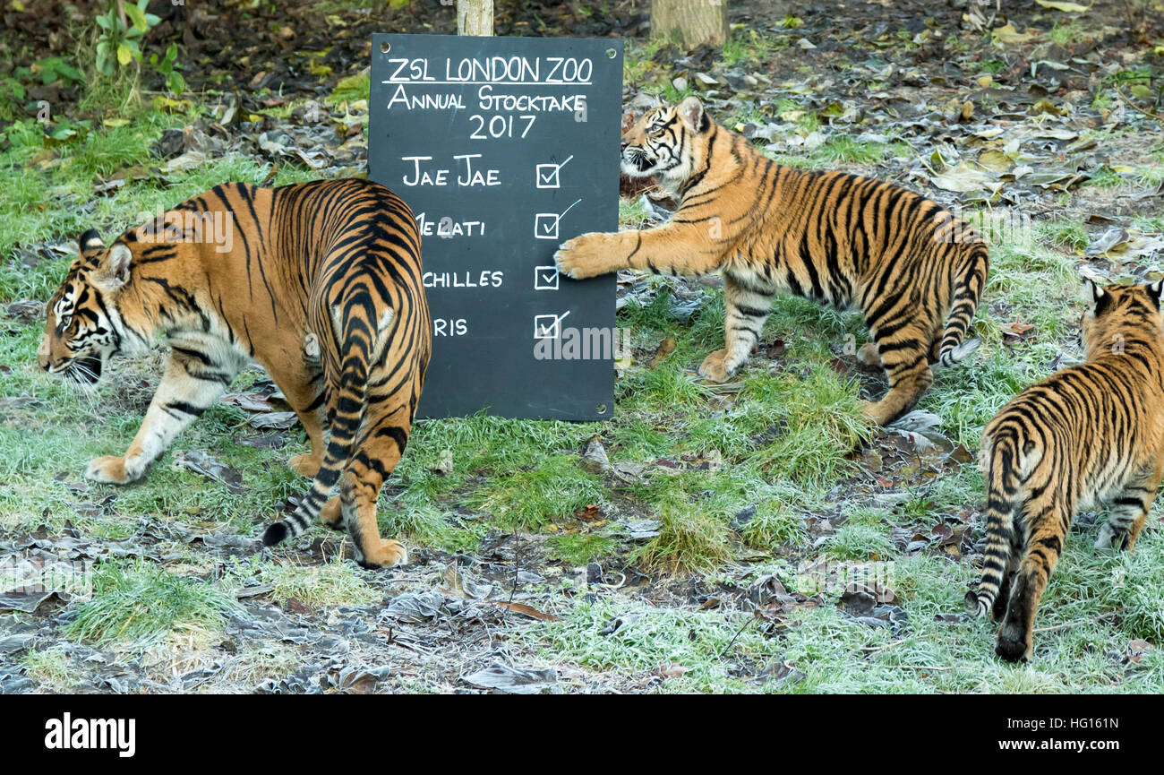 London, UK. 3. Januar 2017. Sumatra-Tiger. London Zoo (ZSL) jährliche Tier Bestandsaufnahme durchgeführt Stockbild