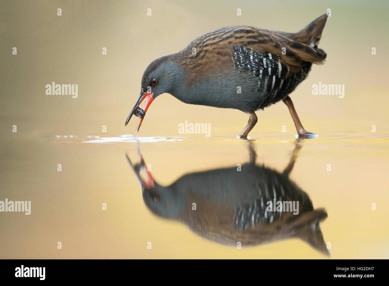 Wasser-Schiene (Rallus Aquaticus) Fütterung im frühen Morgenlicht Stockbild