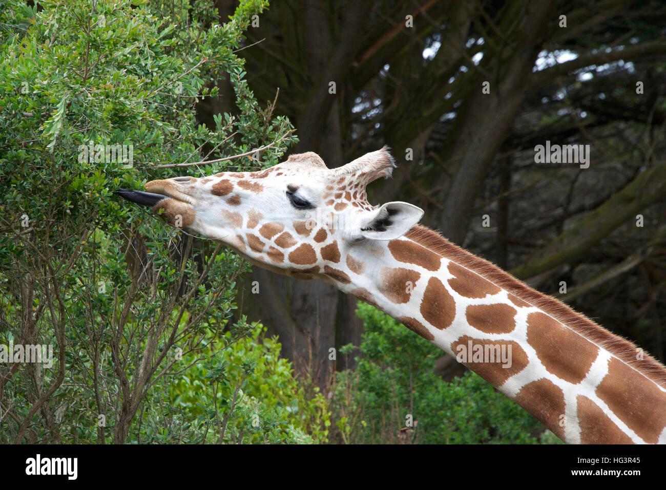 Giraffe Essen Baum Blätter Zunge heraus, um Blätter zu greifen. Stockbild
